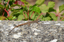 Lizard on Rock. Lizard Sitting on Grey Rock Stock Photography