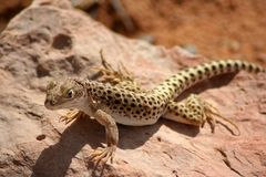 Lizard on the rock Stock Photography