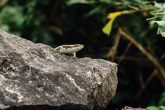Lizard on the rock stood still  the background of the jungle i. Lizard on the rock stood still on the background of the jungle in the forest, closeup, looking at Stock Images