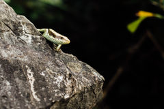 Lizard on the rock stood still  the background of the jungle i. Lizard on the rock stood still on the background of the jungle in the forest, closeup, looking at Stock Image