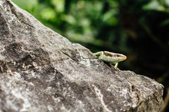 Lizard on the rock stood still  the background of the jungle i. Lizard on the rock stood still on the background of the jungle in the forest, closeup, looking at Royalty Free Stock Images