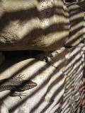 Lizard on Rock with Stripy Shadow Royalty Free Stock Image