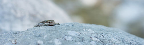 Lizard on a rock 04 Stock Photos
