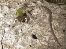 Lizard on a rock. To the sun Stock Photography