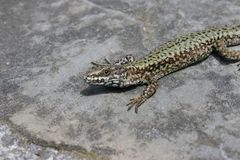 Lizard on a rock under the sun royalty free stock photography