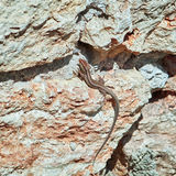 Lizard on the Rock. Viviparous Lizard (Lacerta Vivipara) on the Rock Royalty Free Stock Images