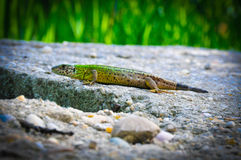 Lizard on the rocks. Green lizard crawling on the rocks Stock Photos