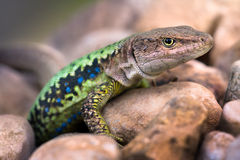Lizard on the rocks. Royalty Free Stock Photography