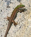 Lizard on the rocks in summer time royalty free stock image