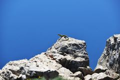 Lizard at  rocky cliff Royalty Free Stock Images