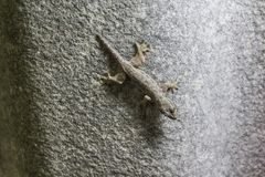 The lizard is at the roof of the house.  Royalty Free Stock Image