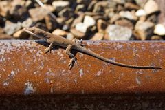 Lizard on rusted rail track Royalty Free Stock Photo