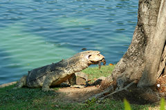 Lizard's Catch. Lizard preparing to eat a turtle in Bangkok Thailand Stock Images