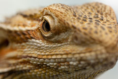 Lizard's eye Stock Photos