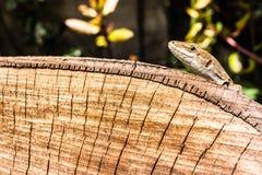 Lizard's head Stock Photography