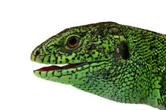 Lizard's muzzle Royalty Free Stock Photos