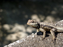 Lizard's portrait. Close up portrait of a lizard sitting on a stone with place for text on the left Stock Images