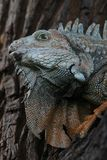 Lizard's portrait. Iguana - portrait, Guayaqil, Ecuador Royalty Free Stock Photos