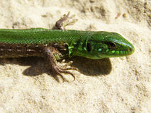 Lizard on the sand Royalty Free Stock Images