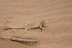 Lizard on sand Royalty Free Stock Photo