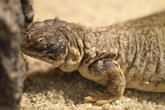 Lizard on the sand Stock Photos