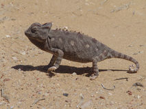 Lizard on a sand in a desert Stock Images