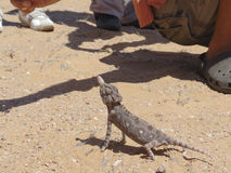 Lizard on a sand in a desert Stock Image