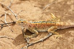 Lizard In The Sand In Gobi Desert, China royalty free stock photography
