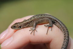 Lizard. Sand Lizard on hand with funny fingers on green background Royalty Free Stock Images