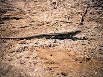 Lizard on sand. Sand lizard (Lacerta agilis) basking in the sun. Sepia Royalty Free Stock Image
