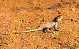 Lizard on sand Stock Photos