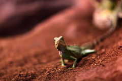 The lizard on a sand Stock Images