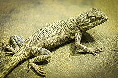 Lizard on the sand Stock Photography