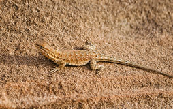 Lizard on Sandstone. Shot of a lizard in the sun  on sandstone Stock Photos