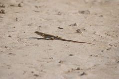Lizard on the sandy ground Royalty Free Stock Photos