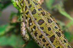 Lizard scales macro royalty free stock image