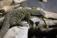 Lizard scaly reptiles Komodo Indonesia Savannah. Skin of his teeth rainforest jungle Royalty Free Stock Photos