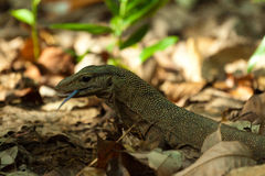 Lizard seen on Perhentian Island Jungle, malaysia Stock Photo