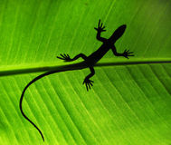 Lizard shadow. Shadow of a lizard on a large leaf Stock Photography
