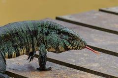 Lizard showing tongue stock photography