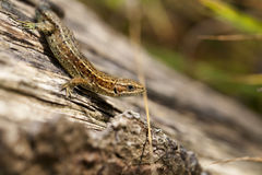 Lizard - side view Royalty Free Stock Photo
