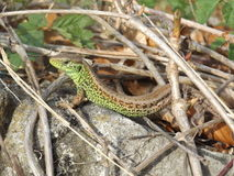 Lizard Royalty Free Stock Photos