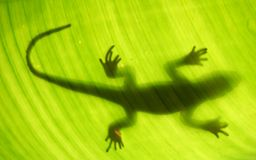 Lizard silhouette Stock Photography
