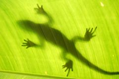 Lizard silhouette Royalty Free Stock Photo