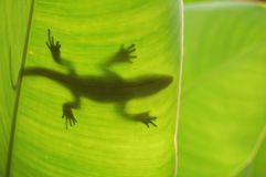 Lizard silhouette Stock Photos