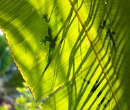 Lizard silhouette on green leaf Royalty Free Stock Photography