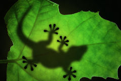 Lizard silhouette in the leaf. Lizard backlight silhouette in a green leaf Stock Photo