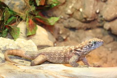 Lizard. Sitting on a branch Stock Photography