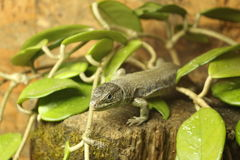 Lizard. Sitting on a branch Royalty Free Stock Photos