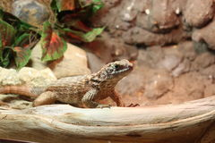 Lizard. Sitting on a branch Stock Images